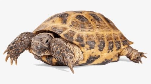 Kopenske želve