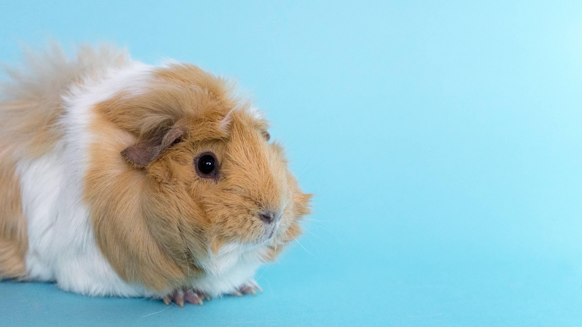 light-brown-guinea-pig_4460x4460
